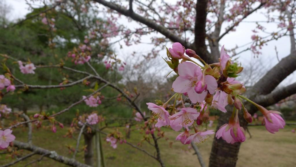 館山城の桜
