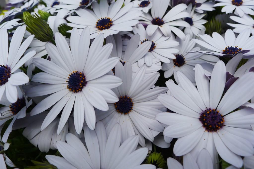 花壇の花 デージー