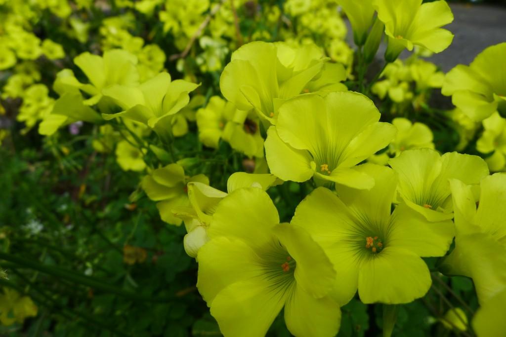 花壇の花 大黄花酢漿草 おおきばなかたばみ