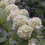 昭和記念公園の花達 2013春 オオテマリ