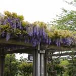 館山城山公園の藤棚