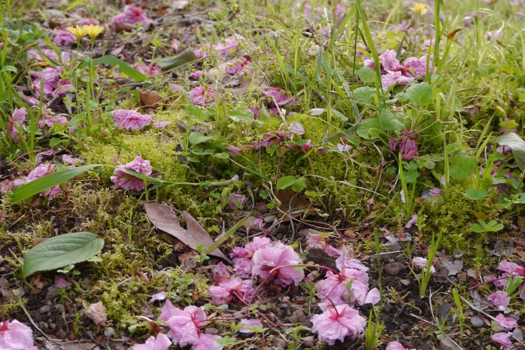 八重の落ち花