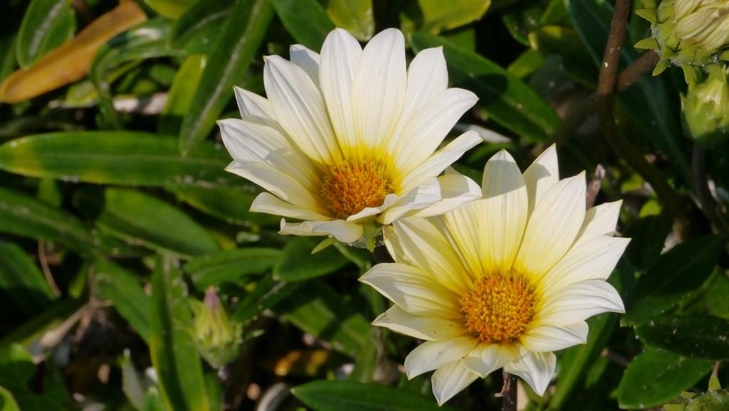 北条海岸の花